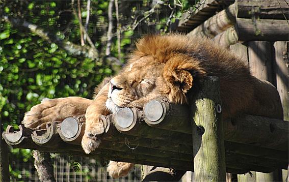 Welted-Toque-Lion-2web