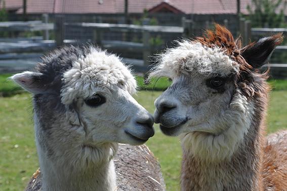 Alpaca - Photo Courtesy of Arbutus Photography