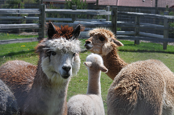 Alpaca Farm - Photo Courtesy of Arbutus Photography