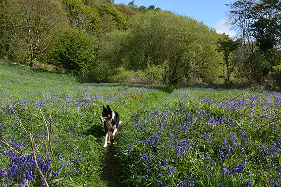 Bluebells on Cavehill 8