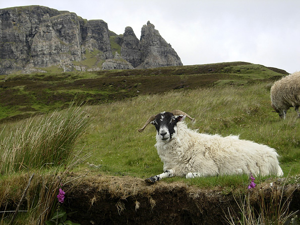 Sheep on Skye