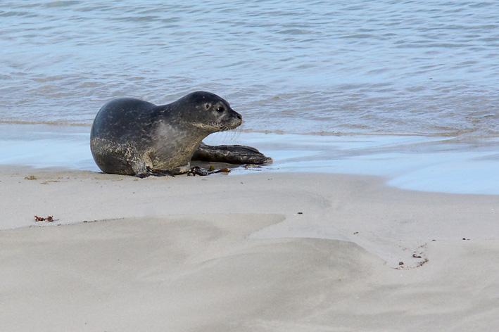 Seals Spiggie 1