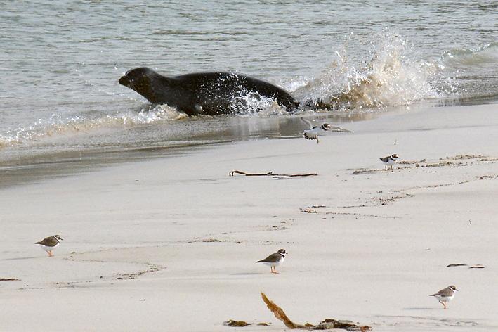 Seals Spiggie 6