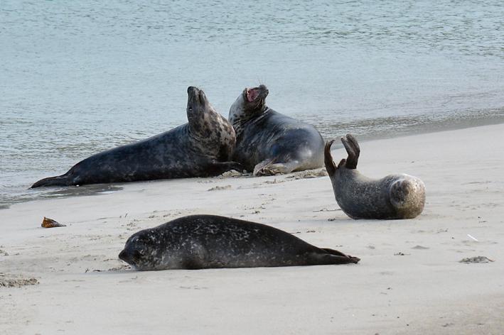 Seals Spiggie 8