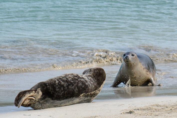 Seals Spiggie 9