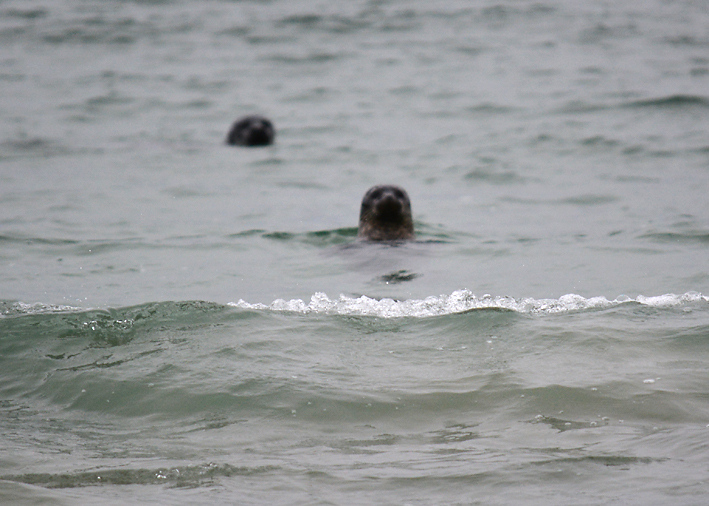 Seals on Tombolo 1