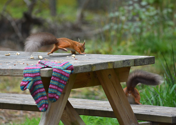 Red Squirrel and Hang Knit Socks 16