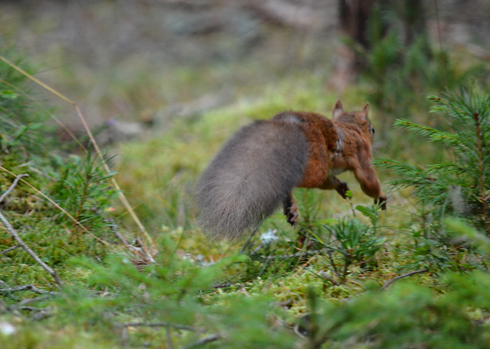 Red Squirrel running away