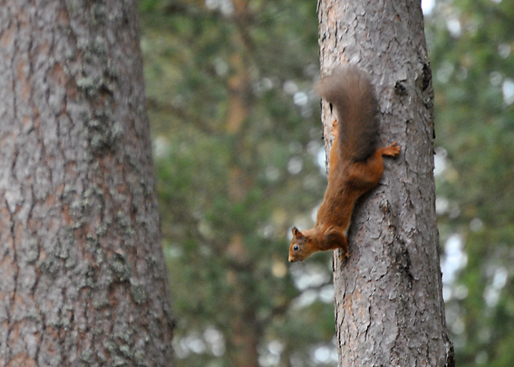Red Squirrel, Cairngorms, Scotland