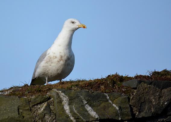 Gull in Groomsport