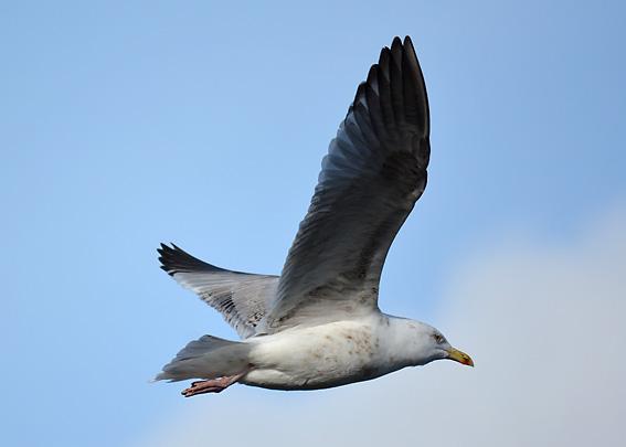 Gull at Groomsport