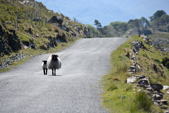 West of Ireland Black Faced Sheep