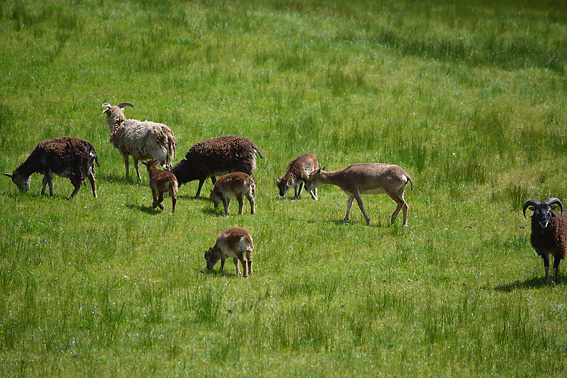 Rare Sheep