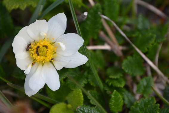 Mountain Avens Burren