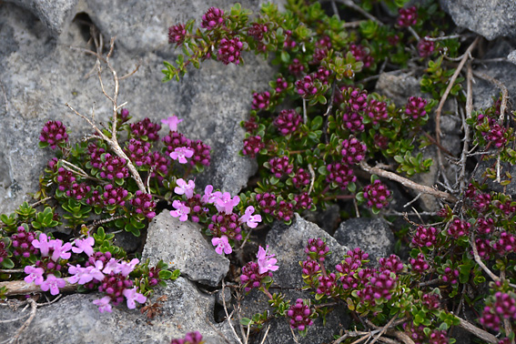 Wild Thyme Burren