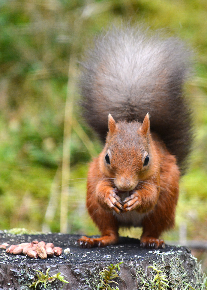 Squirrel Inspiration for Norwegian Star Hat
